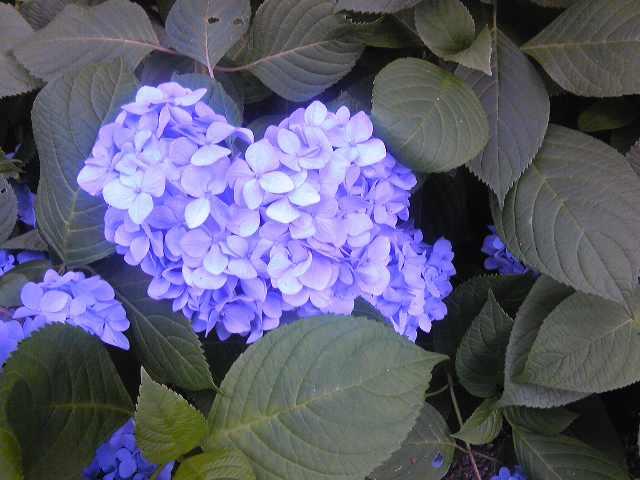 可愛い紫陽花さん☆